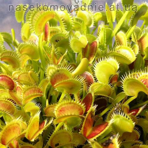 "Dionaea muscipula ""Tiger teeth"""