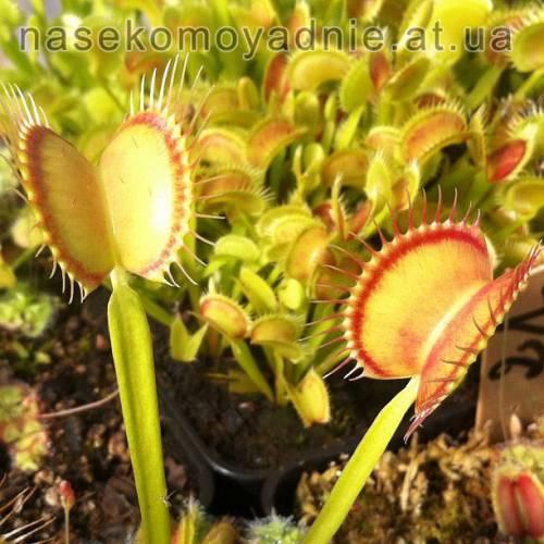 """Dionaea muscipula """"Red Line"""""""