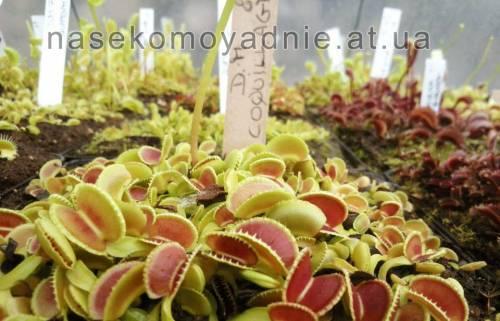 """Dionaea muscipula """"Coquillage"""""""