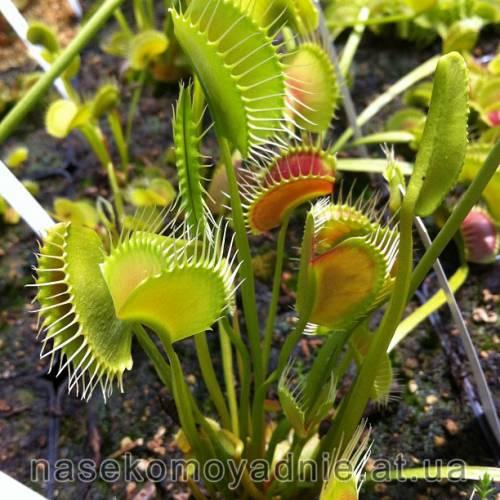 "Dionaea muscipula ""Spider"""