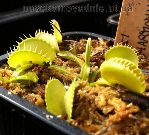 """Dionaea muscipula """"Harmoni"""""""