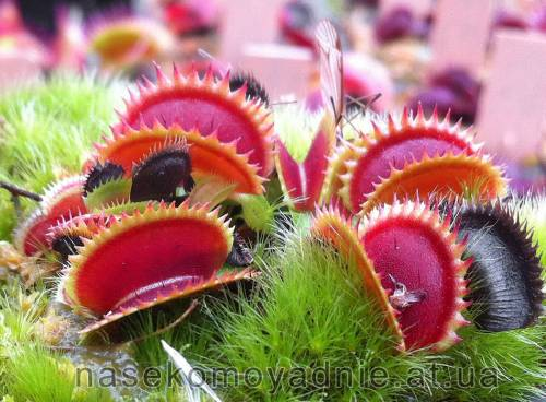 "Dionaea muscipula ""Shark teeth (vft)"""