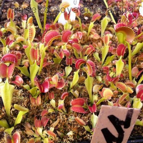 """Dionaea muscipula """"Crested petiole"""""""