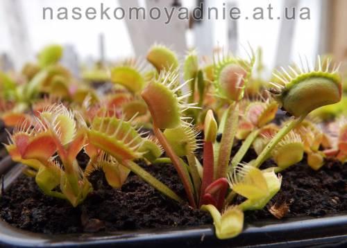 "Dionaea muscipula ""Milachka"""