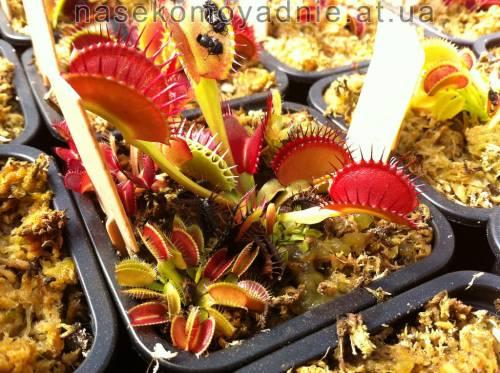 "Dionaea muscipula ""Dentee"""