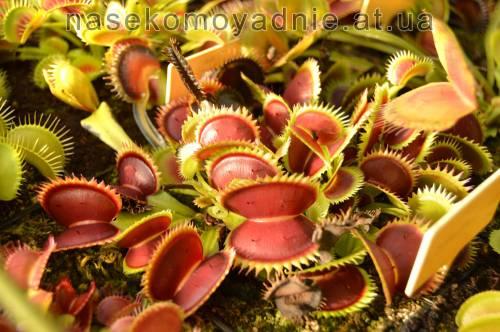 "Dionaea muscipula ""Uk sawtooth 1"""