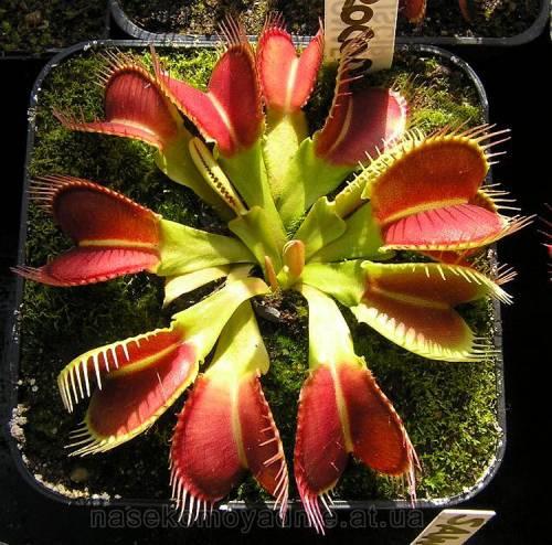 "Dionaea muscipula ""Crocodile"""
