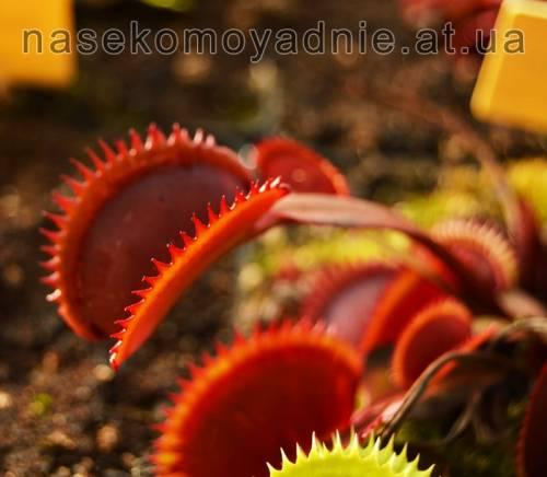 """Dionaea muscipula """"Red trev's dentate trap"""""""