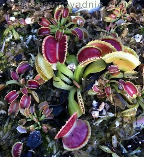 "Dionaea muscipula ""Wiky purple trap"""