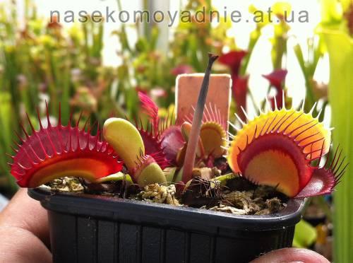 "Dionaea muscipula ""Jumbo"""