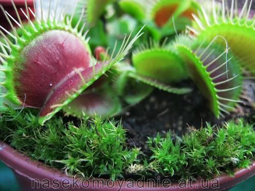 """Dionaea muscipula """"Yellow"""""""