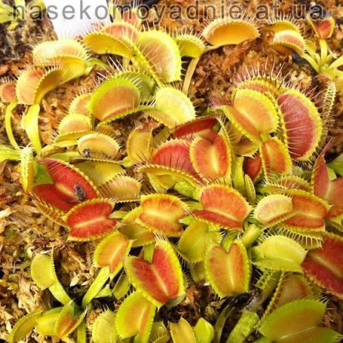 "Dionaea muscipula ""Shuppentiel"""
