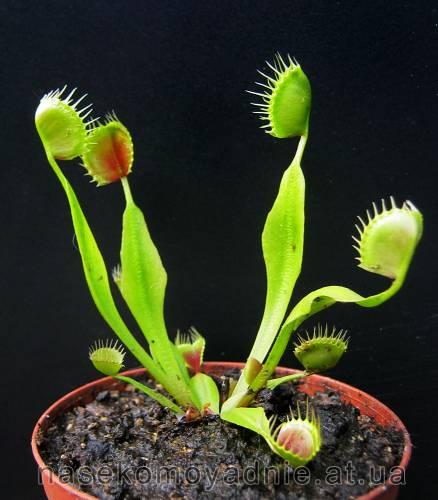 """Dionaea muscipula """"Cupped Trap"""""""