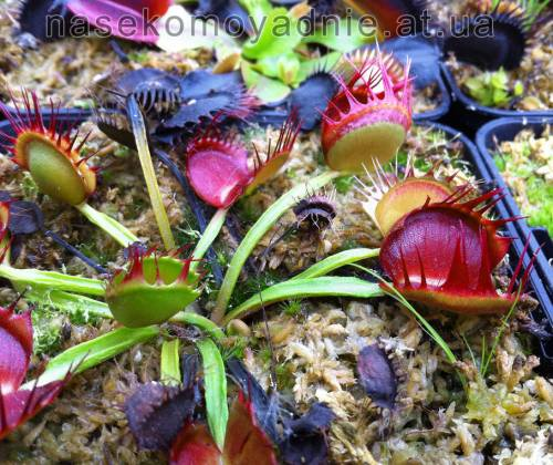 "Dionaea muscipula ""Fused tooth china"""