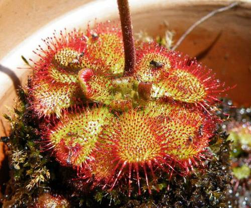 "Drosera ""South Africa"""
