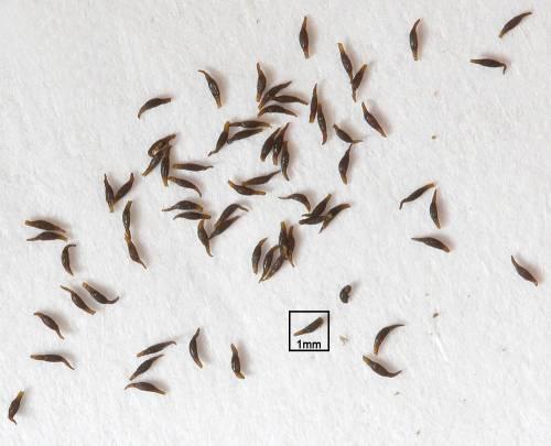 Семена росянок