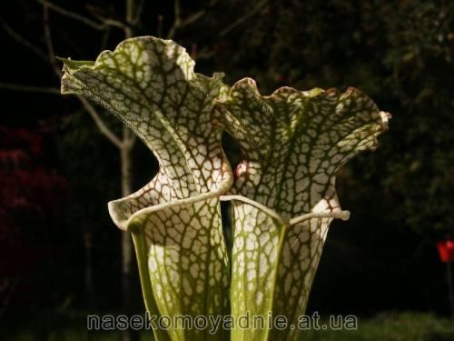 """Sarracenia leucophylla """"Citronelle"""""""