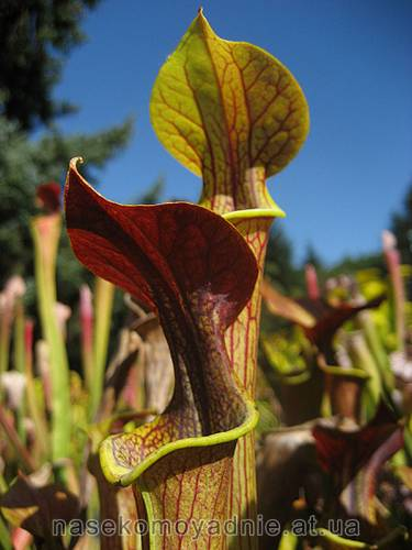 Sarracenia Red lid (flava x alata)