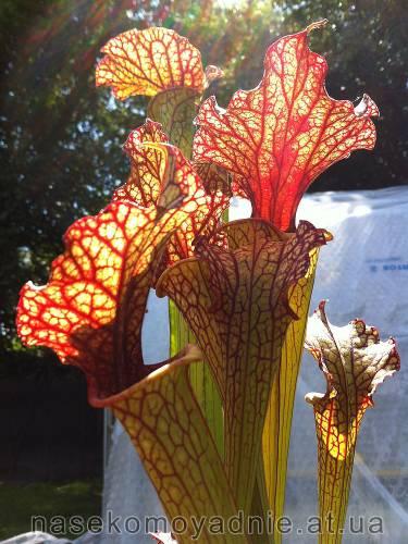 Sarracenia x Moorei - Clone 1