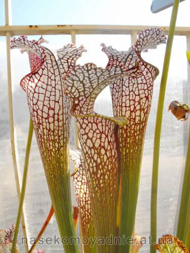 "Sarracenia leucophylla ""Tarnok"""