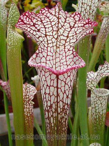 Sarracenia Leucophylla pink and purple pitchers