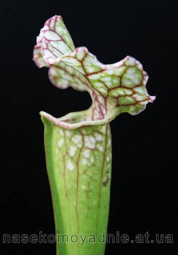 Sarracenia belolistnaya