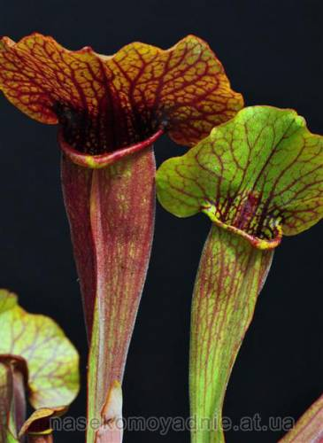 Sarracenia Exornata