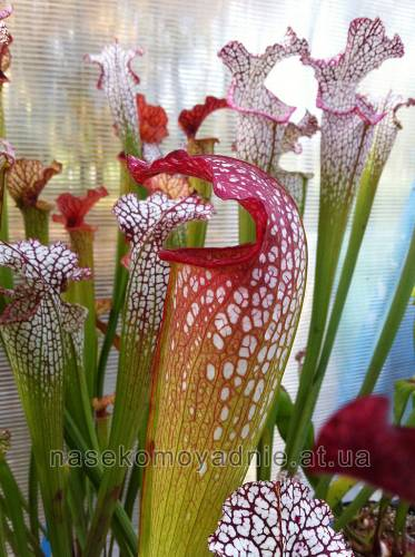 "Sarracenia ""Excellens"" (Minor x leucophylla)"