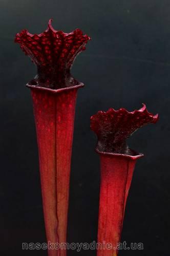 Sarracenia (гибрид)