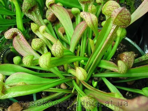 """Sarracenia """"Psittacina"""""""