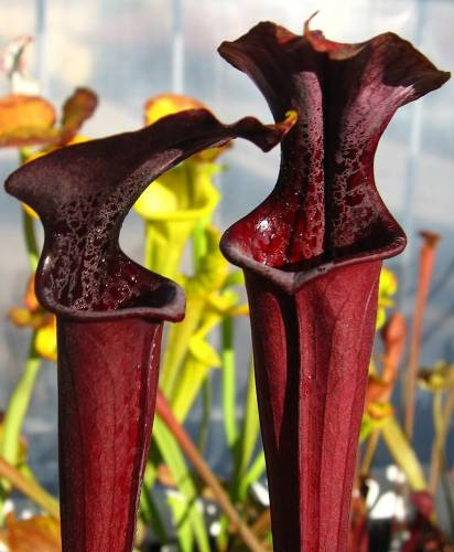 Sarracenia Alata Red tube