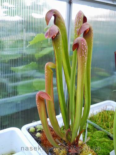 "Sarracenia ""Minor"""