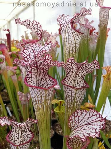 Sarracenia leucophylla Helmut´s Delight