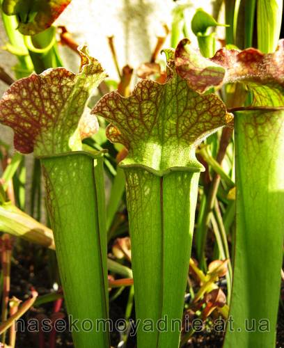 Sarracenia hybrid 3