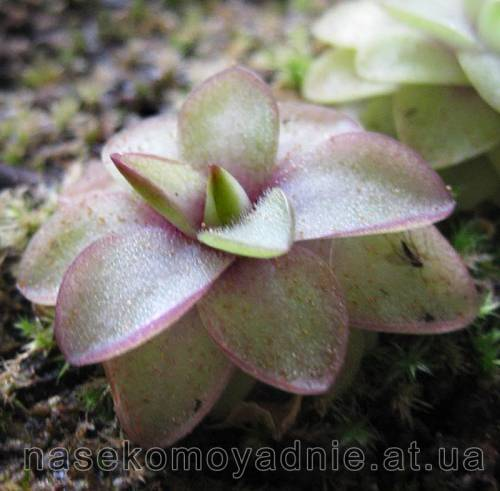 "Pinguicula ""Seductora"""