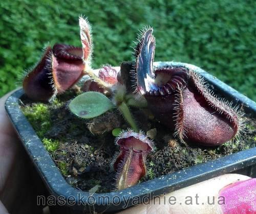Cephalotus follicularis 'Hummer's Giant'