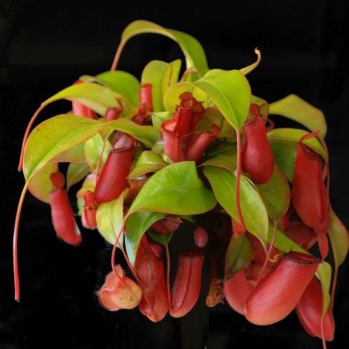 "Nepenthes ""Bloody Mary"""