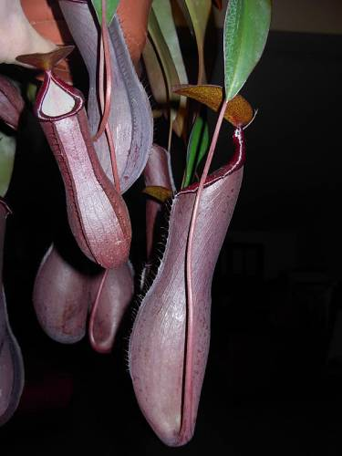 Nepenthes Rebeca soper